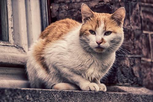 Cat Belgium