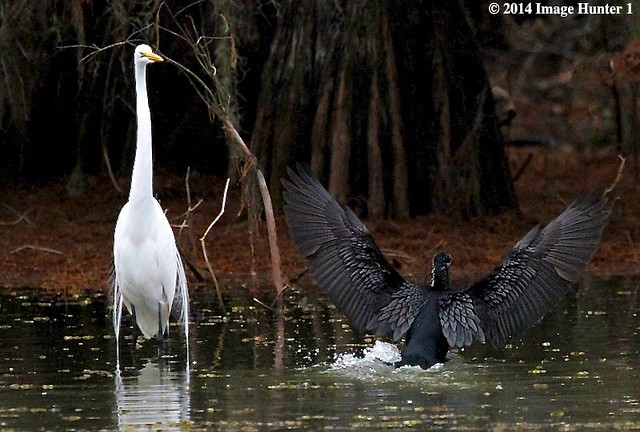 Ebony & Ivory / Great Egret & Cormorant Landing - Lake Martin, Louisiana