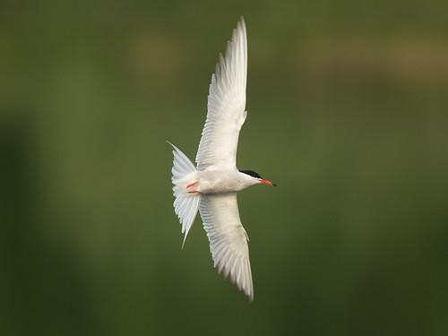 Common tern turn