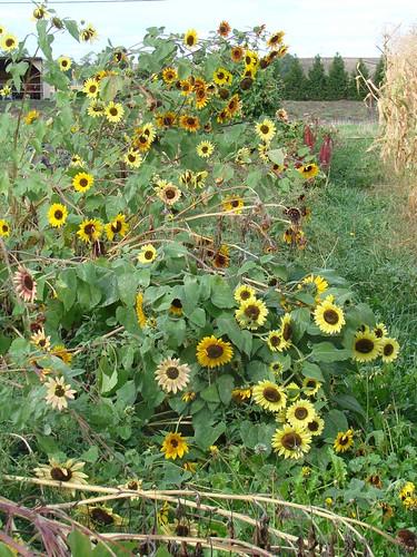 SunflowerWind