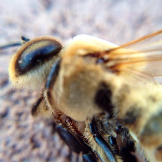 Macro Bee - 6