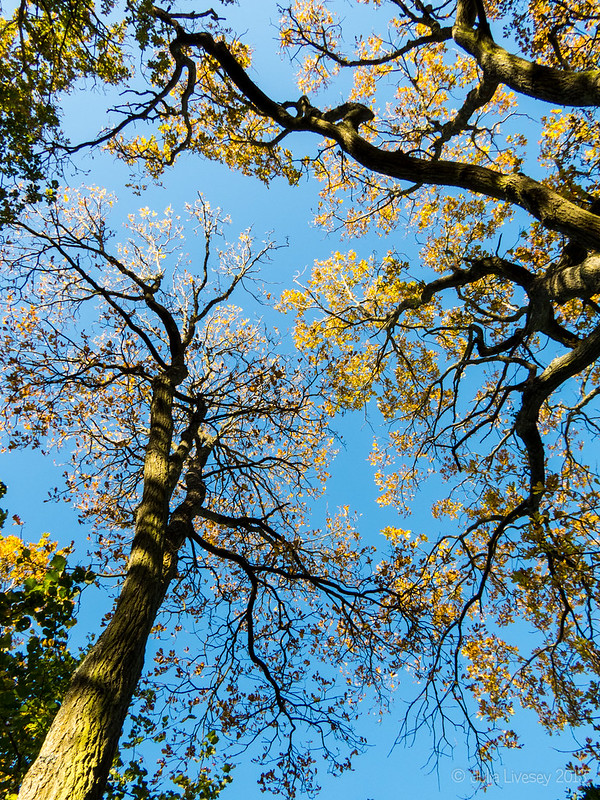 The oak trees are turning