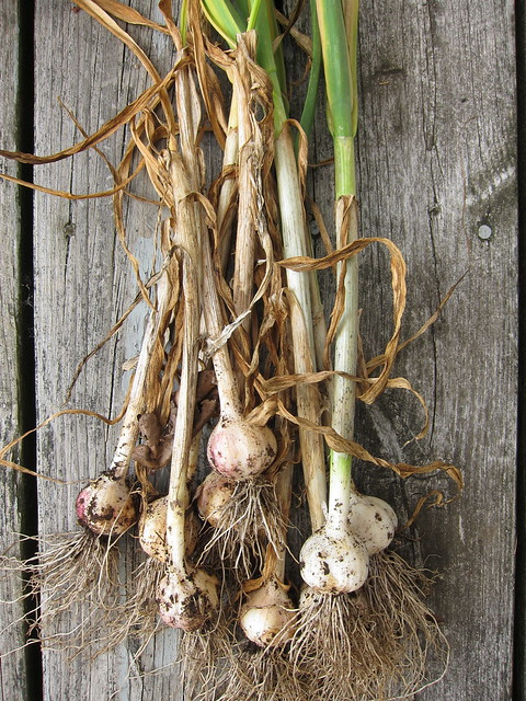 7.22.13 Garlic Harvest