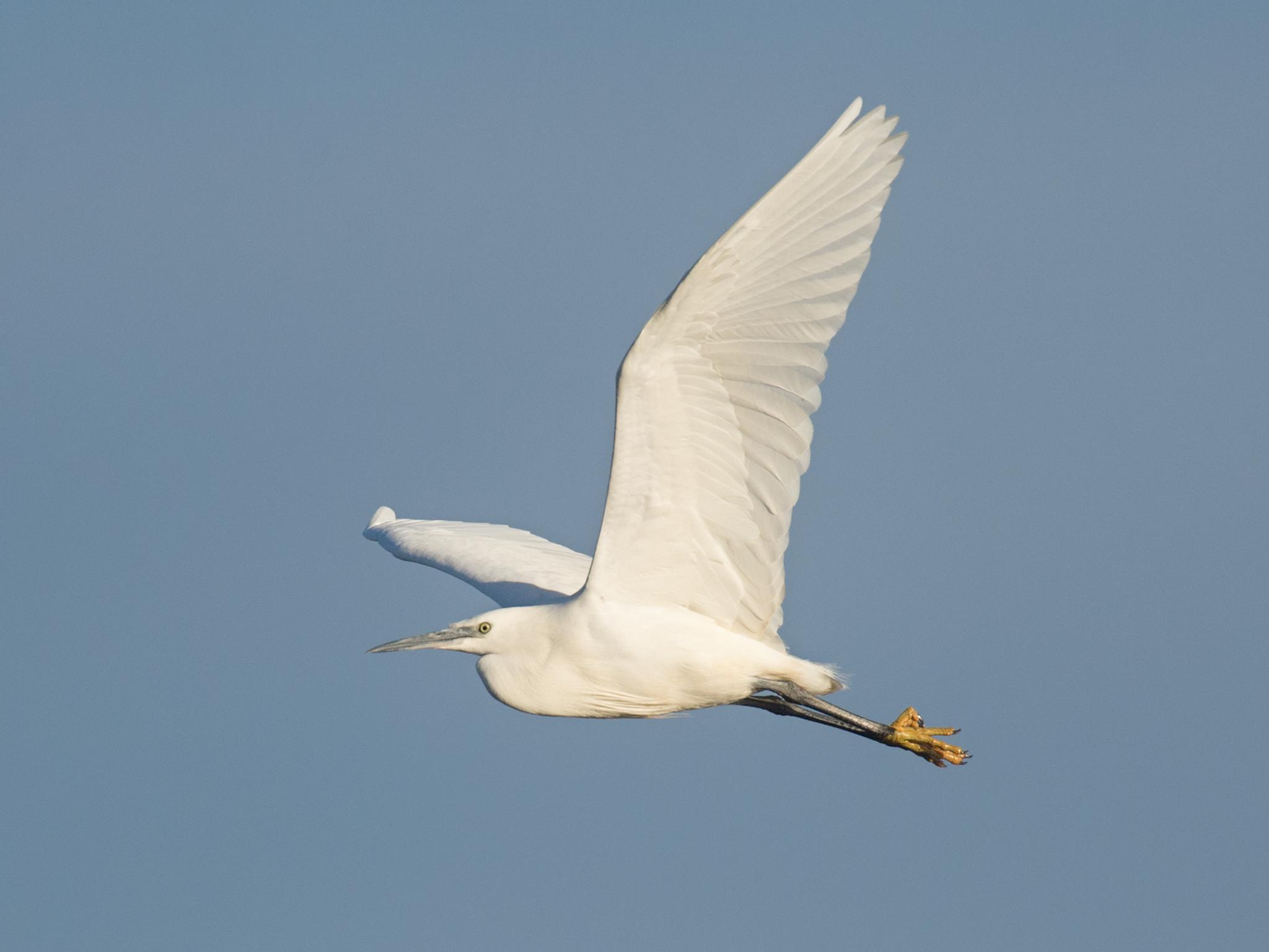 Little egret - blue sky