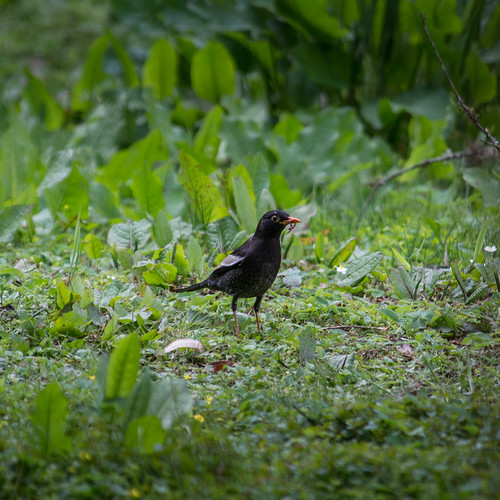 Grey-winged Blackbird (male)