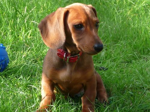 Rupert, Miniature Dachshund