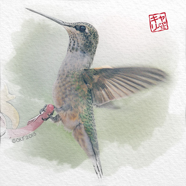 Hummingbird Profiles #4