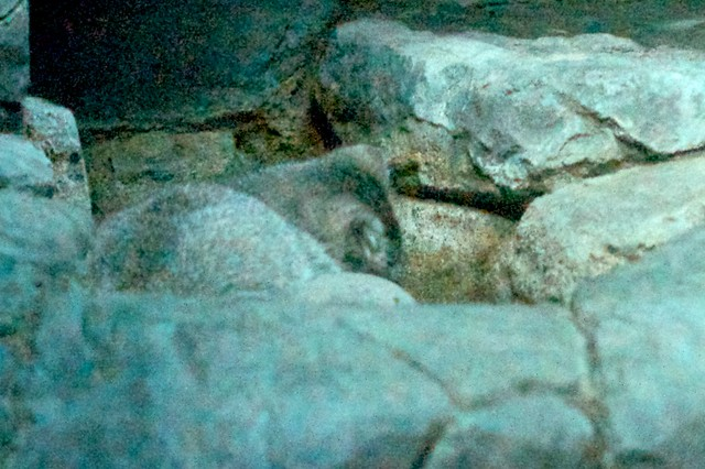 Pallas Kitten, Sleeping in the Rock
