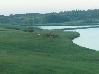 Cattle in the Early Morning