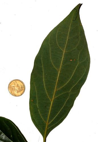 Gmelina fasciculiflora DSC_0022