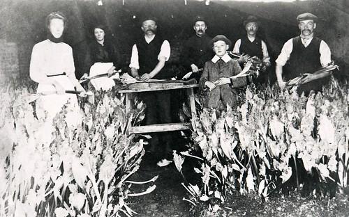 Rhubarb Harvesting 1917