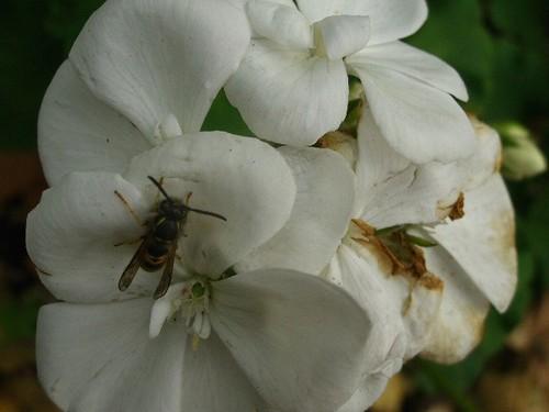 Insekt auf Hortensie