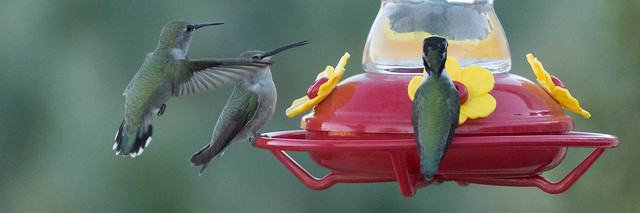 Costa's Hummingbirds-1080120