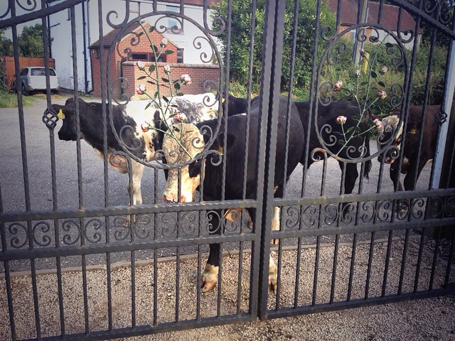 Some cows pop round to say hi