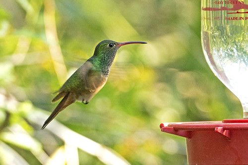 TX: Buff-bellied Hummer