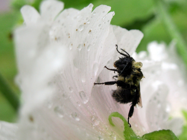 a wet bumblebee resting on a hollyhock flower