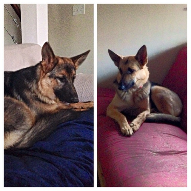 Couch time with the #germanshepherds.