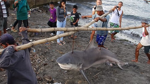 Tanjung Luar: bullshark hauled in