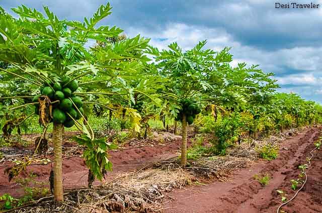 Organic papaya farm
