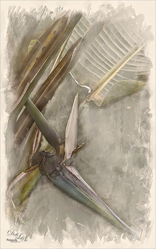 Image of a white bird of paradise flower