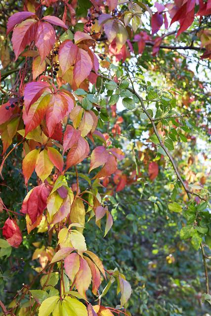 Autumn leaves. Lviv, Ukraine