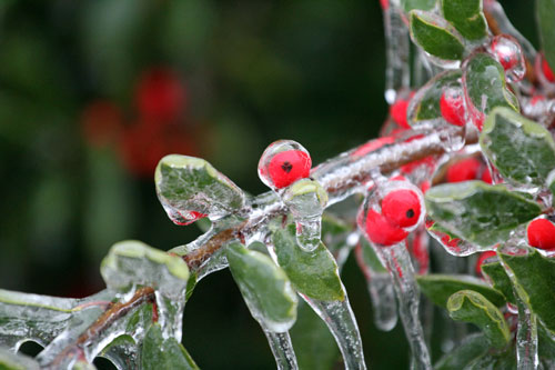 red berries in ice. dec 2013