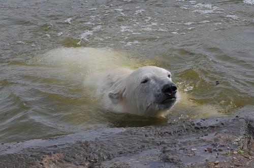 Eisbär Siku  im Skandinavisk Dyrepark in Kolind