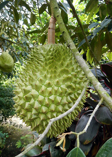 Mekong Orchard Fruit Tree: Durian