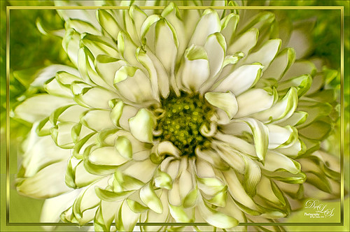 Image of green dahlia with scripted pattern border effect