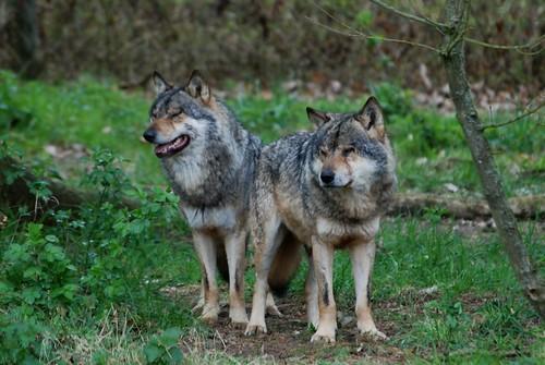 Eurasische Wölfe im Skandinavisk Dyrepark in Kolind