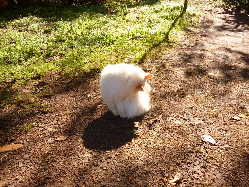Fluffy white cat at Aripuca