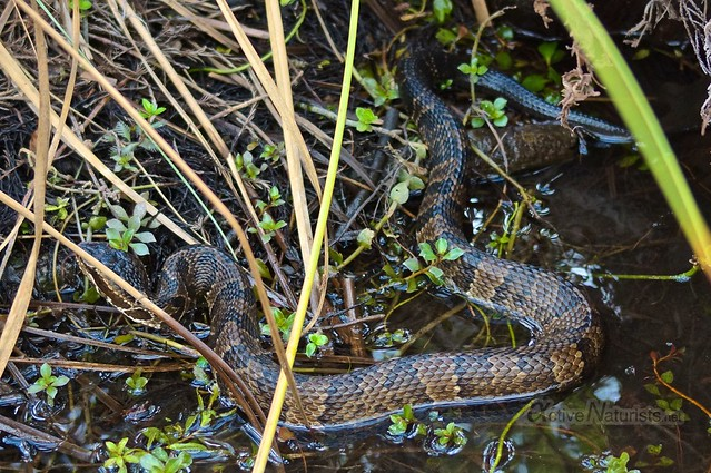 Water Moccasin 0001 Big Cypress Preserve, Florida, USA