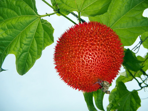 in the Mekong, a ripe Gak fruit