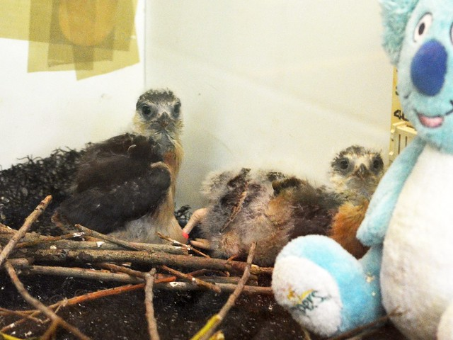 Pygmy Falcon Babies