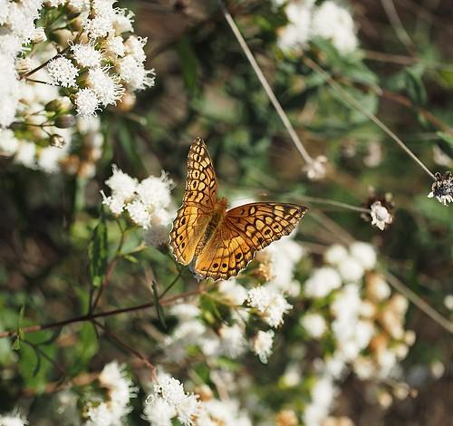 fall-butterfly
