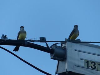 North Kamloops Kingbirds