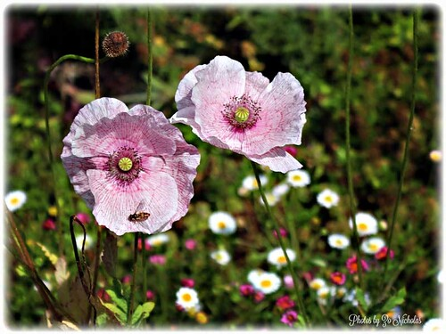 Pink Poppies by Zo Nicholas