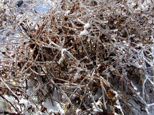 goldenrod in ice