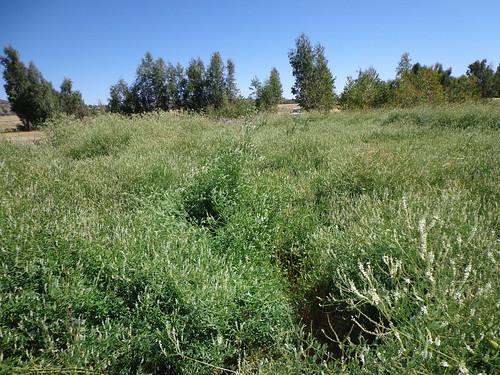 Alfa alfa farm of Abrehet in Central Tigray zone (Photo:ILRI\Yayneshet Tesfay)