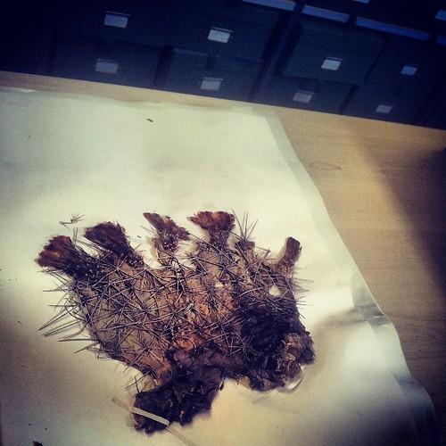 #Manchester #museum #herbarium #botany #flowers #cactus #cacti #goldenbarrell