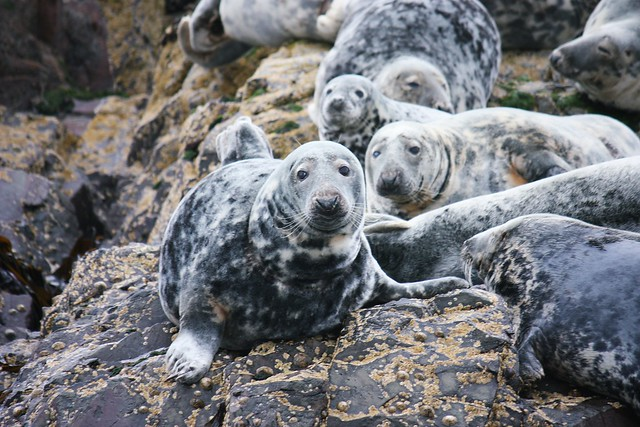 Grey seals at Farne Island
