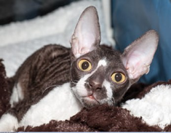 The Cornish Rex Cat Breed - CRX Ewan Magic Star