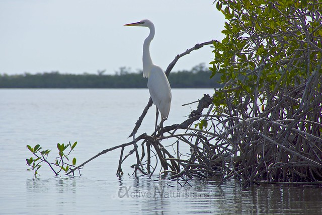 great egret 0000 Everglades, Florida, USA