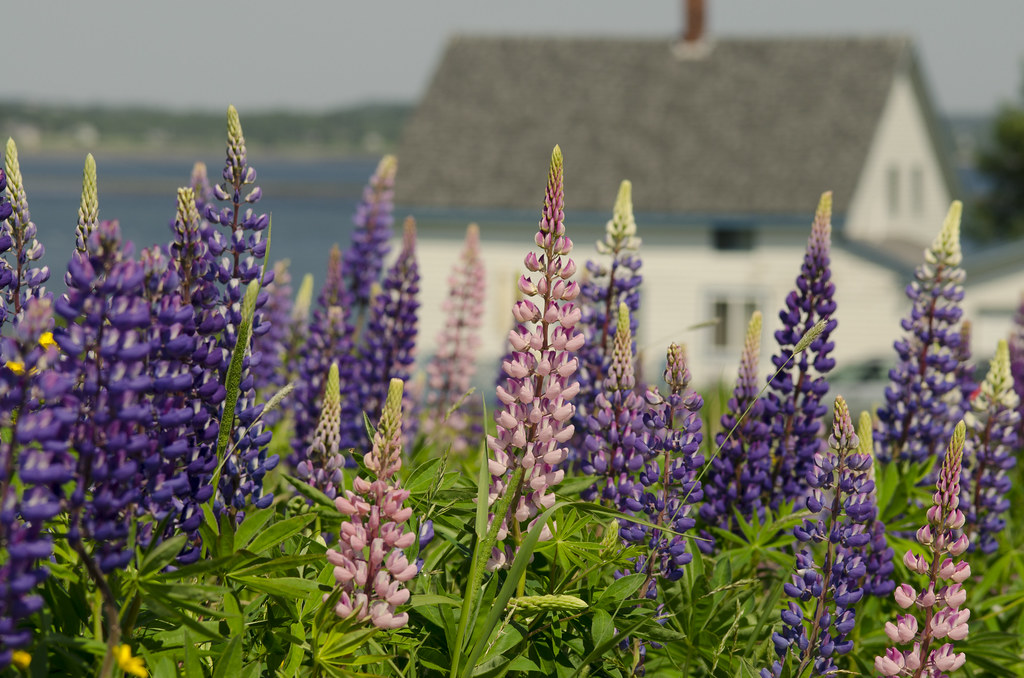 lupines 5