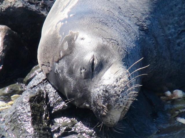 Hawaiian Monk Seal at Kaena Point