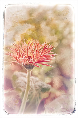 Image of a Pink Gerbera with Corel Painter textured background