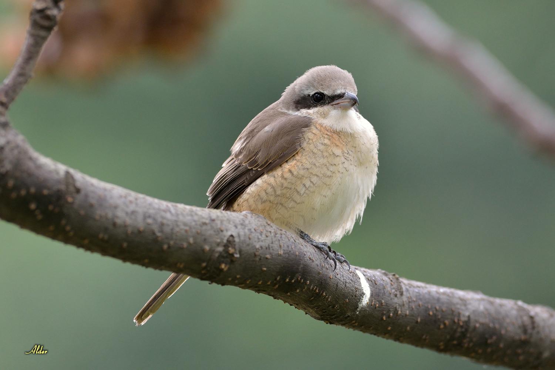 紅尾伯勞吐食繭.2013/12/11 @ 鳥啊.鳥啊.讓我們共同生活在永續的環境中 :: 痞客邦