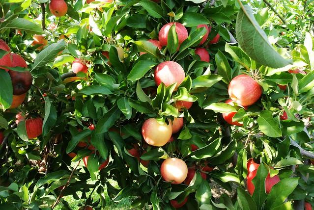 Apple Picking Fall 2013