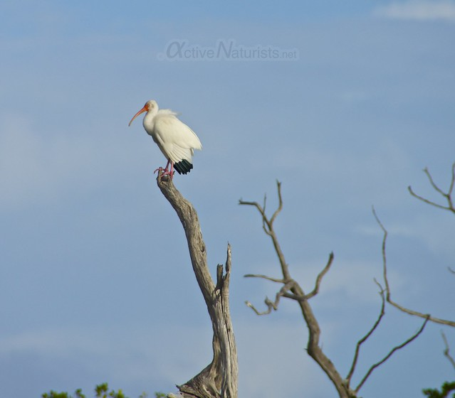 american white ibis 0001 Everglades, Florida, USA