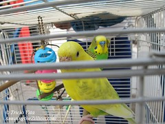 Parakeets in Coney Island